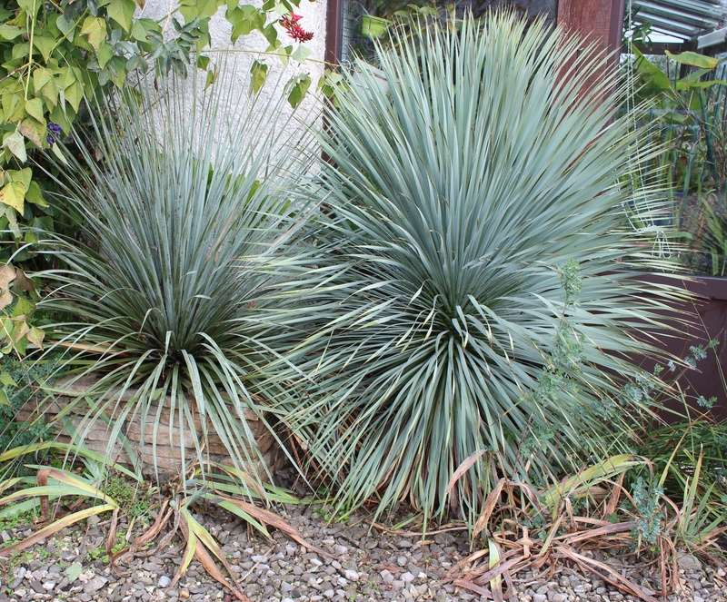 Yucca rostrata Yucca_10
