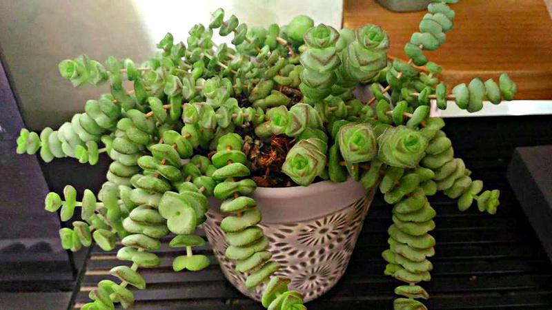 Quelle est cette petite plante et comment la cultiver ?crassula marnierana jade necklare vine ? 19397711