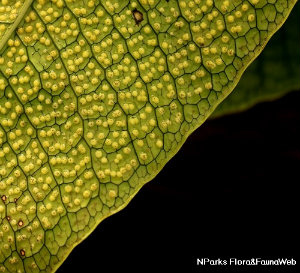 Microsorum musifolium malade!  Getima10