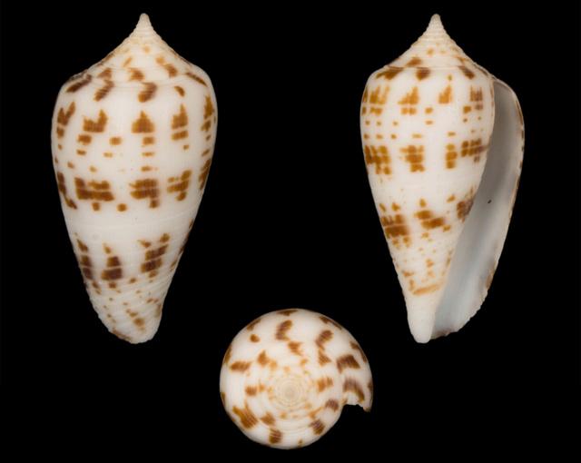 Conus (Phasmoconus) balabacensis Filmer, 2012 Co02310