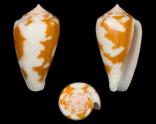 Conus (Pionoconus) robini  Limpalaer & Monnier 2012 - Page 3 Co02510