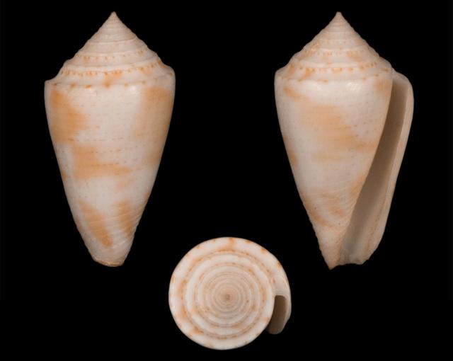 Conasprella (Ximeniconus) ericmonnieri (Petuch & R. F. Myers, 2014) Co03811