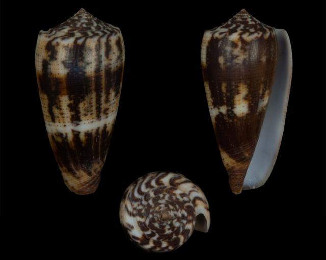 Conus (Pionoconus) circae (Sowerby ll, 1858) voir Conus (Pionoconus) magus - Page 3 Co09110