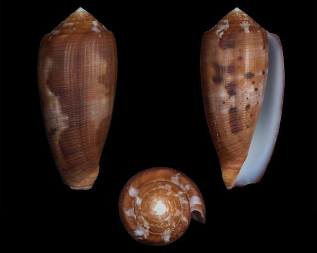 Conus (Pionoconus) circumcisus  Born, 1778 - Page 4 Co10010