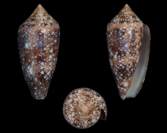 Identification cone 18 = conus_canonicus Co10910