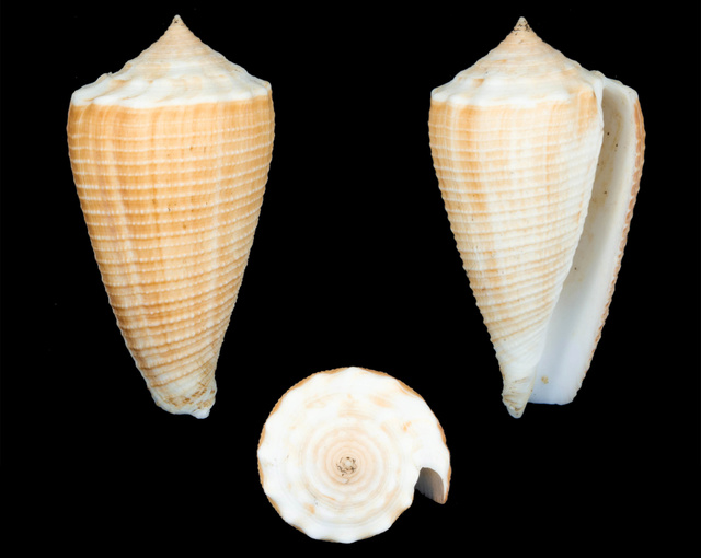 Identification cone 4 = conus_sulcatus Co12210