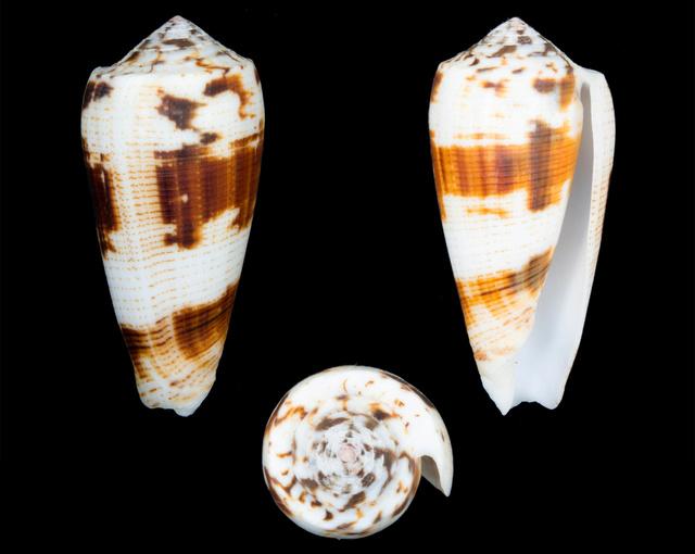 Conus (Pionoconus) magus   Linnaeus, 1758 - Page 2 Co13110