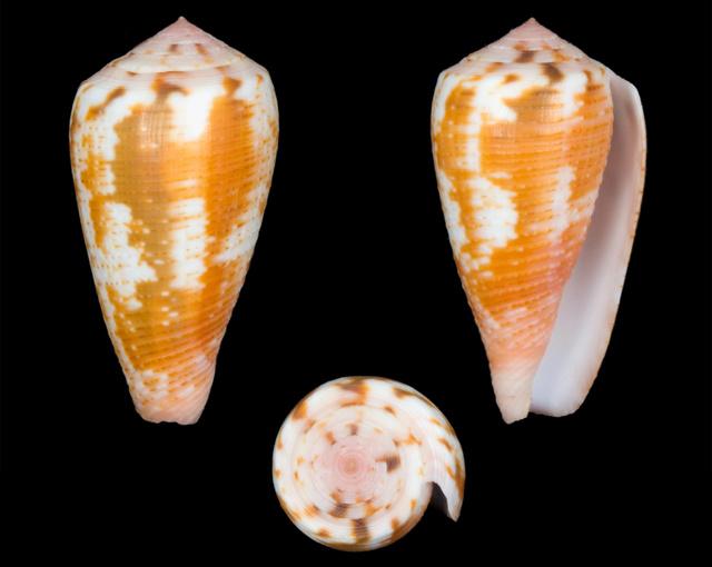 Conus (Pionoconus) magus   Linnaeus, 1758 - Page 2 Co13410