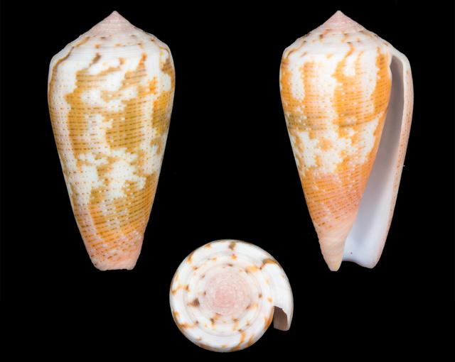 Conus (Pionoconus) magus   Linnaeus, 1758 - Page 2 Co13510