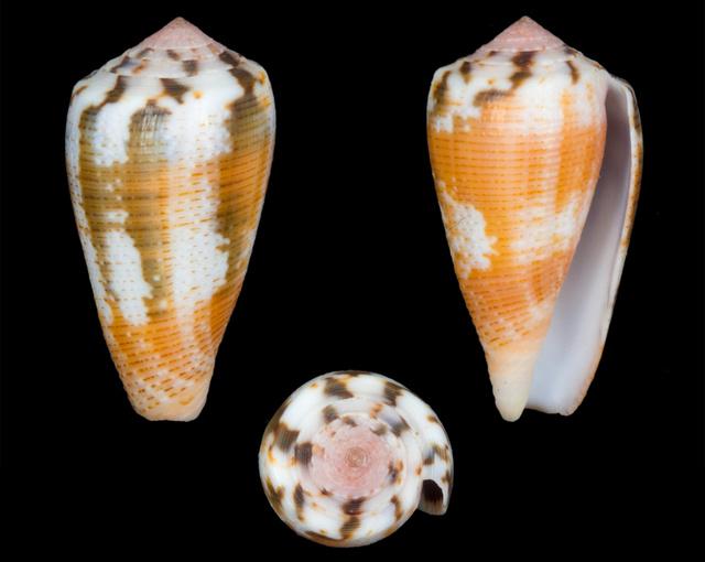 Conus (Pionoconus) magus   Linnaeus, 1758 - Page 2 Co13910