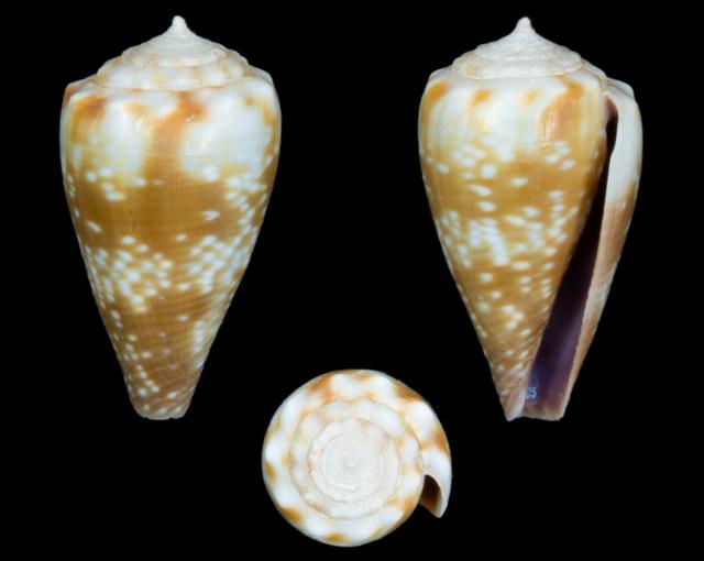 Conus (Floraconus) balteatus  (G. B. Sowerby I, 1833) - Page 2 Co17510