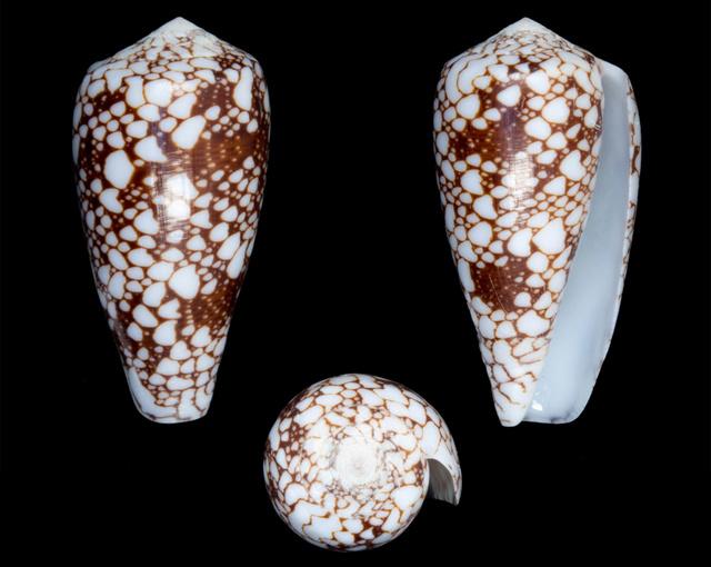 Identification cone 5 = conus_episcopus Co18510