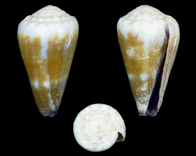 Identification cone 15 = conus_distans_juvenile Co19610