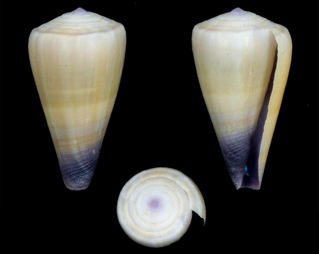 Identification cone 14> Conus_frigidus Co19710