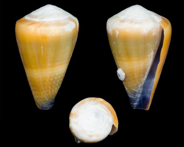 Identification cone 16 = conus_frigidus Co19810