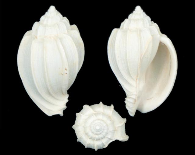 Harpidae - † Harpa (eocithara) mutica Lamarck, 1803 (GA 209-01) - Lutétien (Bassin Parisien) Ha06510