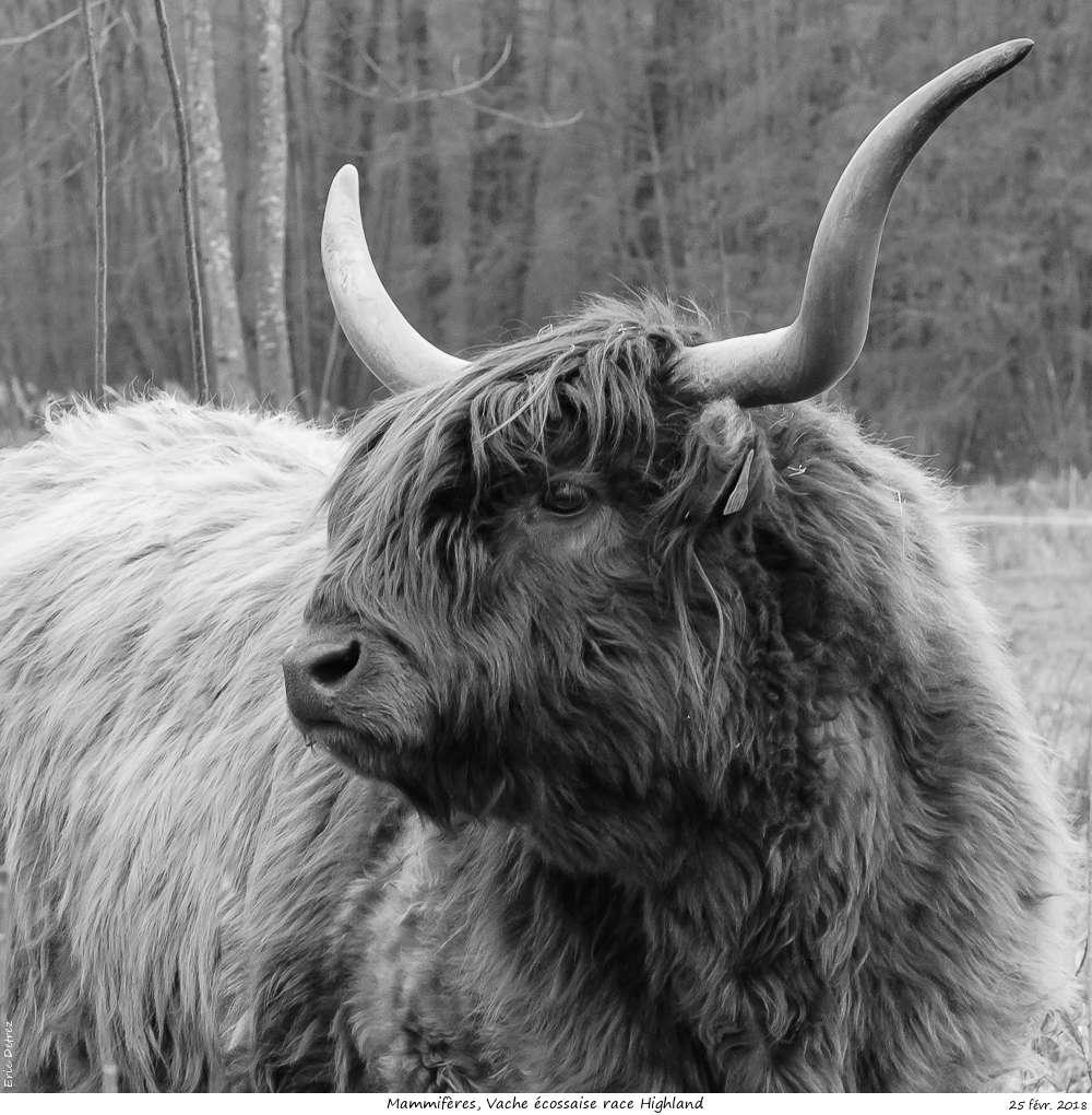Une histoire drôlement vache ! Vache_12