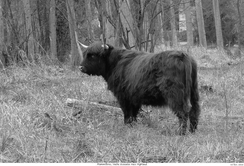Une histoire drôlement vache ! Vache_13