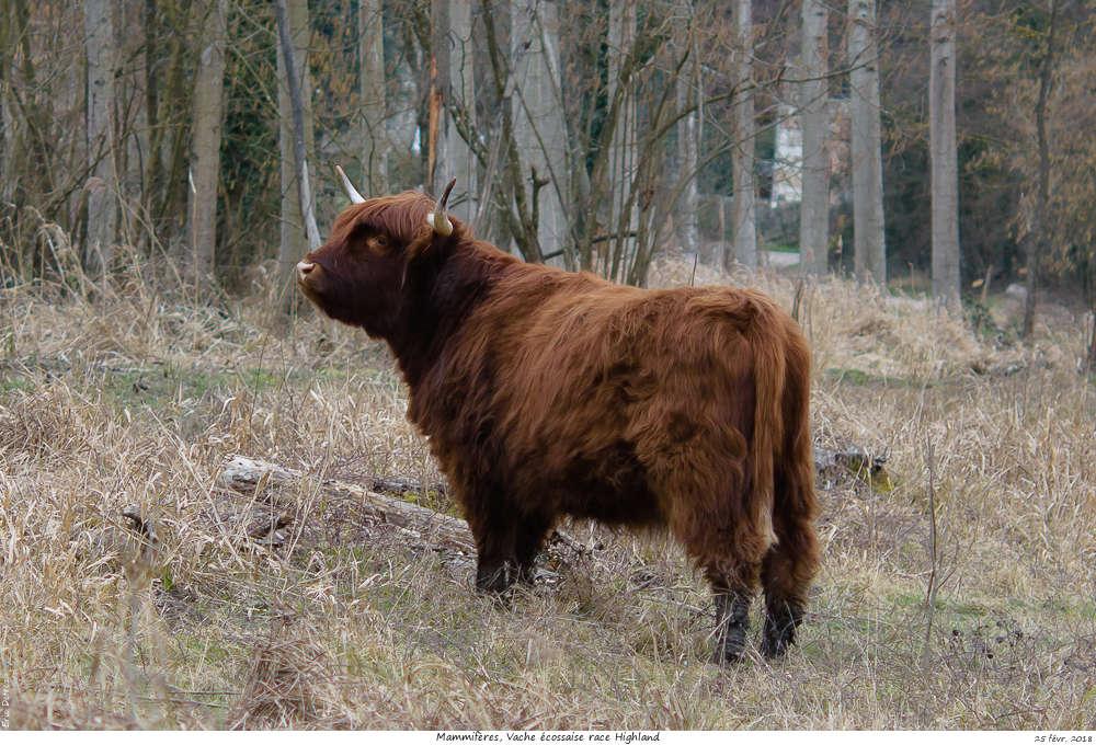 Une histoire drôlement vache ! Vache_17