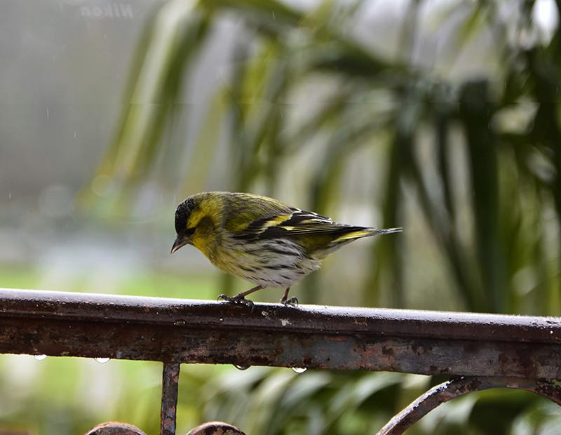 [Tarin des aulnes (Spinus spinus)] un oiseau à déterminer _fe86310
