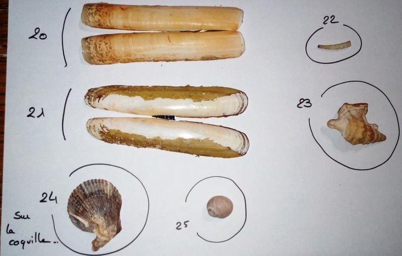Pouvez-vous m'aider à identifier ces coquillages SVP ? 15153411