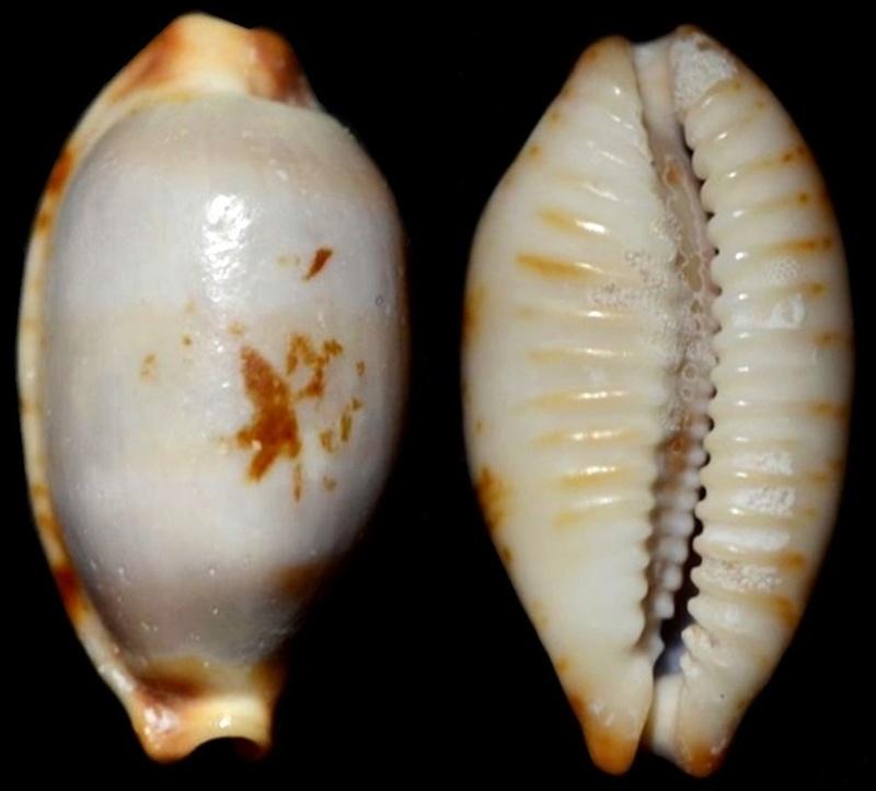 Bistolida stolida rubiginosa - (Gmelin, 1791) A_iden12