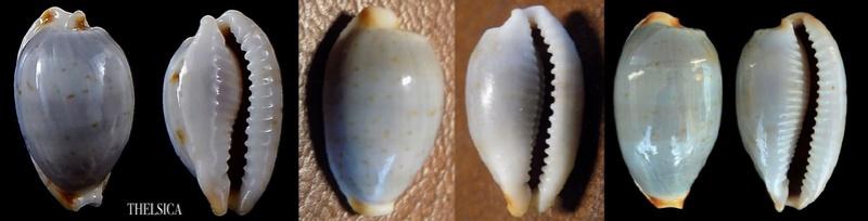 Bistolida stolida (Linnaeus, 1758) Bistol11