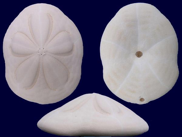 Clypeasteroida - Clypeasteridae - Clypeaster rosaceus (Linnaeus, 1758) Clypea10