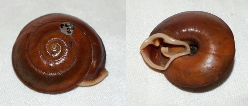 Labyrinthus subplanatus subplanatus (Petit, 1843) à confirmer Dsc03311