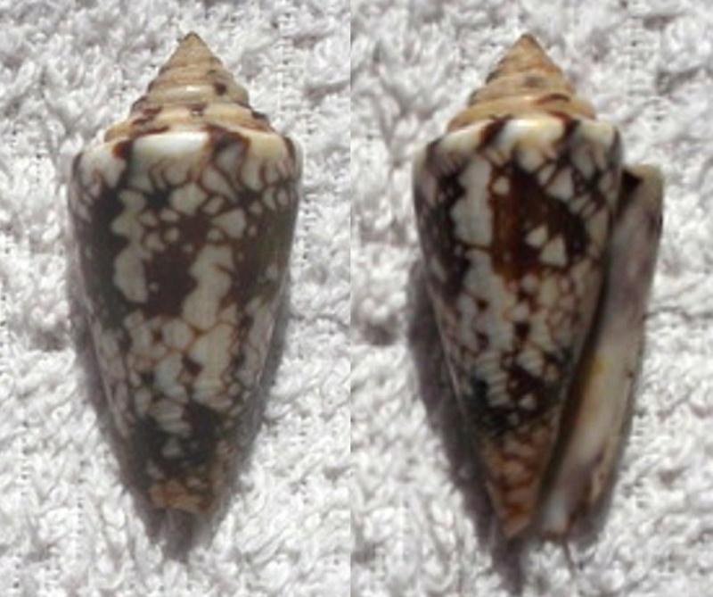 Conus (Leptoconus) locumtenens - Blumenbach, 1791 - Page 2 Dscf0411