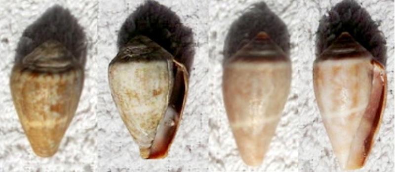 Lautoconus ventricosus - (Gmelin 1791 Dscf0413