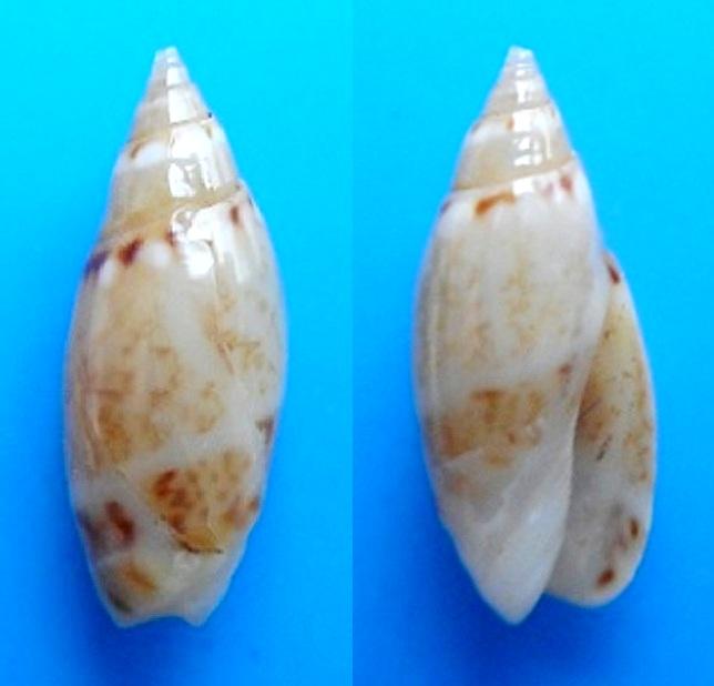 Olivella pulchella - (Duclos, 1835) Dscn9410