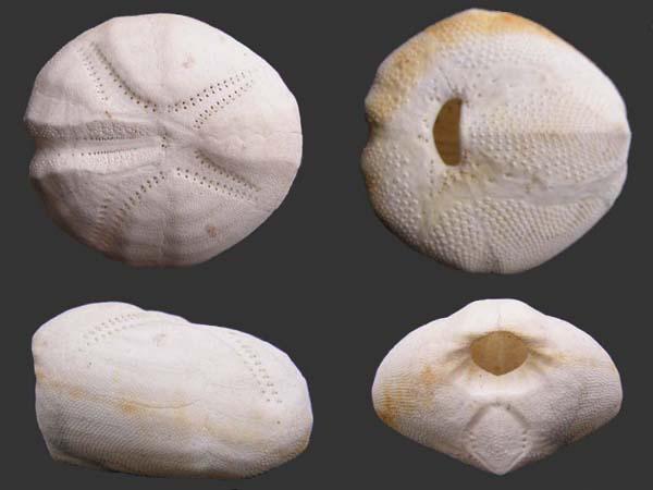 Spatangoida - Loveniidae - Echinocardium fenauxi Pequignat 1963 Echino10