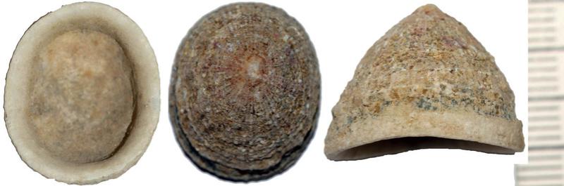 Trimusculidae - Trimusculus mauritianus - (Martens, 1880)  Img_2910