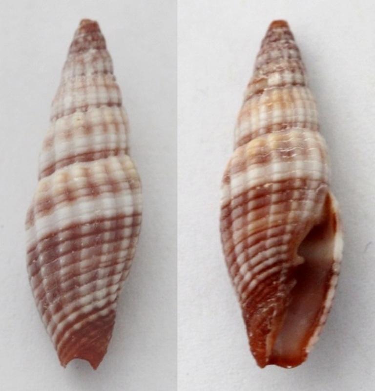 Vexillum granosum - (Gmelin, 1791) Img_6710