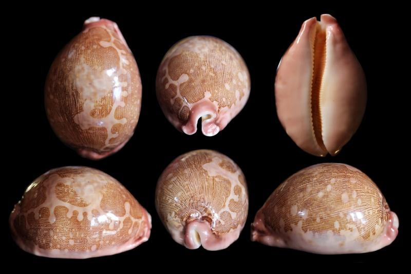 Leporicypraea_mappa_mappa_(Linnaeus_1758)  Img_7659