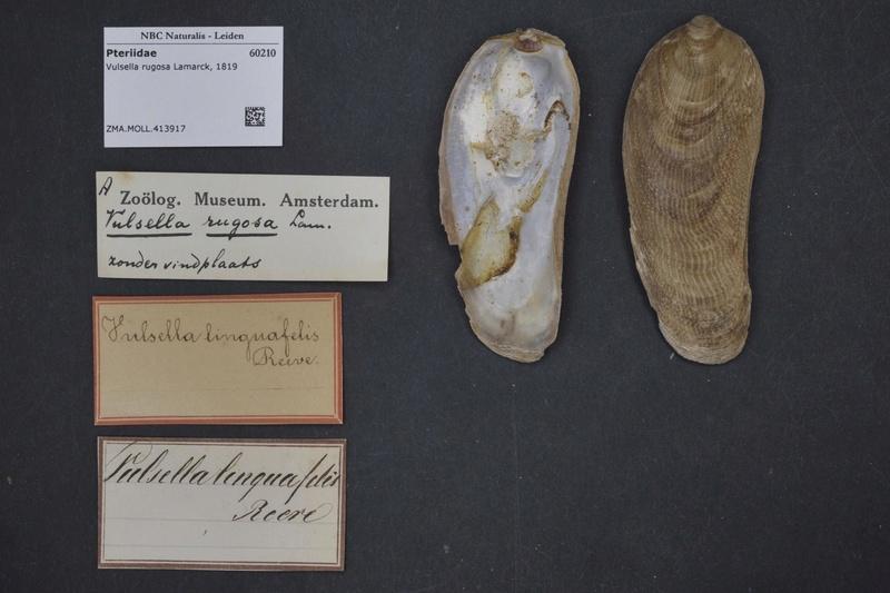Vulsella vulsella - (Linnaeus, 1758) Natura10