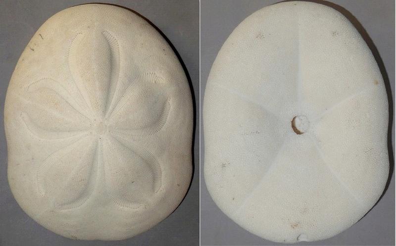 Clypeasteroida - Clypeasteridae - Clypeaster rosaceus (Linnaeus, 1758) P1040910