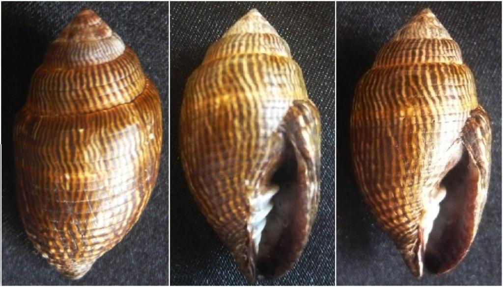Strigatella retusa - (Lamarck, 1811)  P1050011