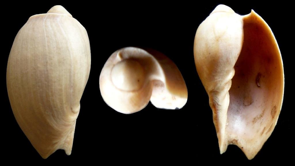 Cymbium pachyus (Pallary 1930) P1050111