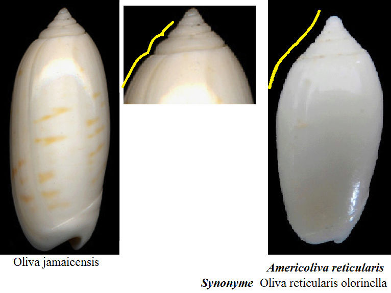 Americoliva reticularis f. olorinella (Duclos, 1835) accepted as Americoliva reticularis (Lamarck, 1811) Sans_t11