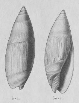 Genre Turrancilla von Martens, 1903  - Espèces actuelles Turran14