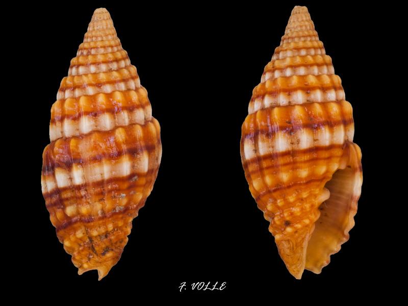 Vexillum venustulum - (Reeve, 1844) Vexill10