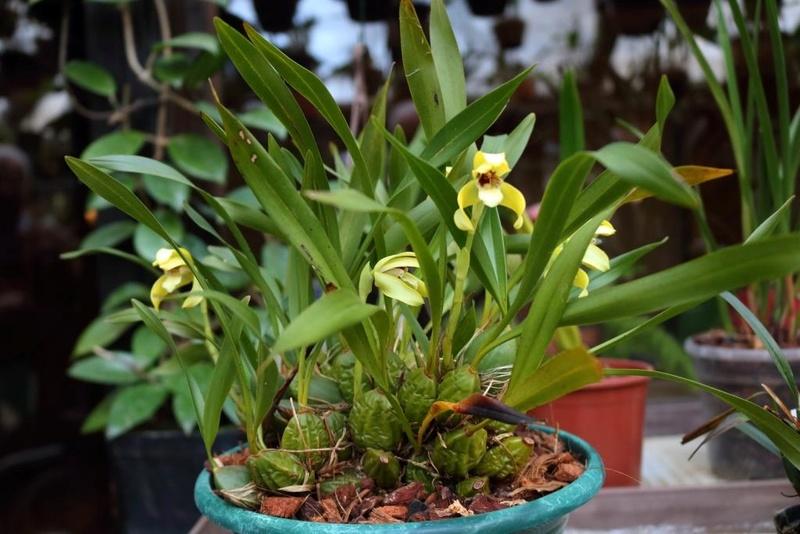 Orchideen 2 (fortlaufende Seiten 200 bis 300) - Seite 98 Maxill14