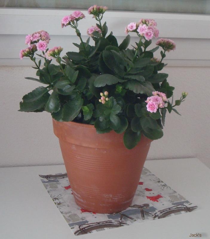 Hibiscus d ' Egypte  ( et autres fleurs ) - Page 2 Kalank12