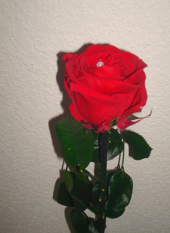 Hibiscus d ' Egypte  ( et autres fleurs ) - Page 2 Rose_112