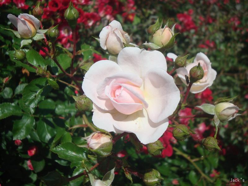 Hibiscus d ' Egypte  ( et autres fleurs ) - Page 2 Rose_j10