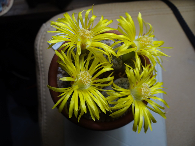 Lithops anonymes Lithop10