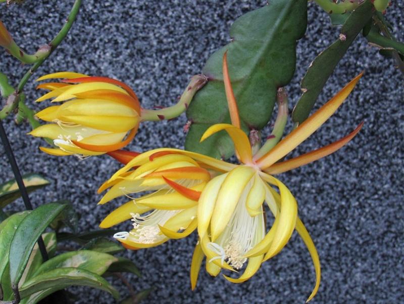 cactus - quelques floraisons 2018 Epif1813