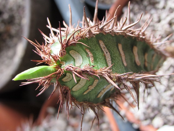 Euphorbia neohumbertii - Page 2 Euphma10